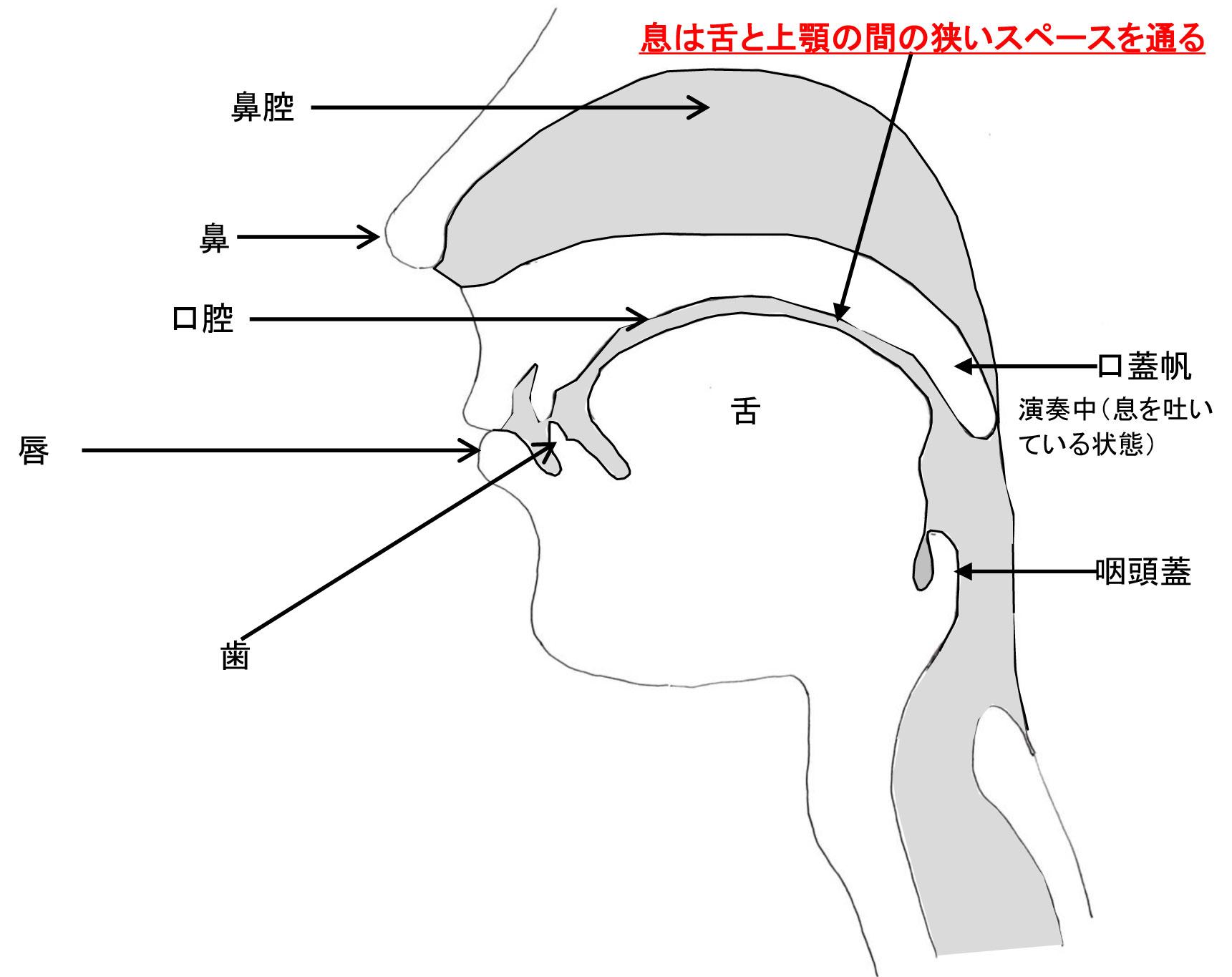 口腔を中心とした演奏中の気道の断面図